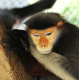 Red shanked douc langur Royalty Free Stock Photo