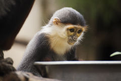 Red-shanked douc langur Royalty Free Stock Photo