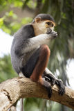 Red-shanked douc langur Stock Photo