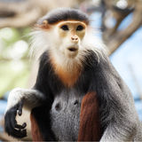 Red-shanked douc langur Royalty Free Stock Photos