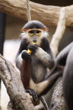 Red-shanked douc langur Royalty Free Stock Images
