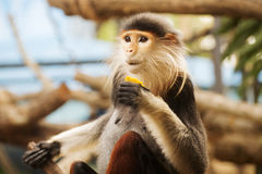 Red-shanked douc langur Stock Images