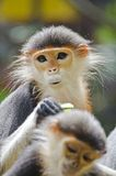 Red shanked douc langur. Stock Images