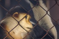Red-shanked Douc Langur in the zoo. royalty free stock photo