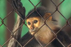 Red-shanked Douc Langur in the zoo. royalty free stock photography
