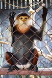 red shanked douc langur Royalty Free Stock Images
