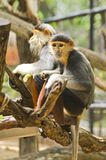 Red shanked douc langur. Royalty Free Stock Photography
