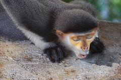 Red shanked douc langur Royalty Free Stock Photos