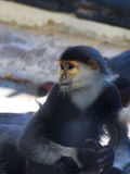 Red shanked douc langur Stock Photography