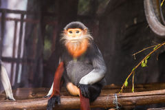 red shanked douc langur Stock Images