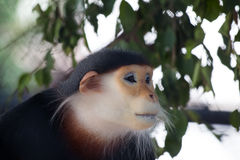 red shanked douc langur Stock Photo