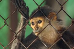 Red-shanked Douc Langur in the zoo. stock photography
