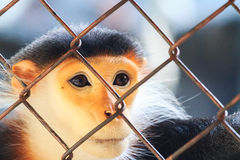 Red-shanked douc that was trapped cage royalty free stock photos
