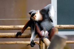 Red-shanked douc wildlife reserve. In thailand royalty free stock photos