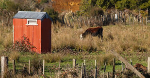 Red shed and cow Royalty Free Stock Photos