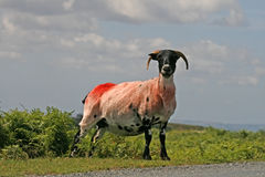 Red Sheep, Dartmoor, Cornwall, England Stock Photo