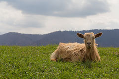 Red sheep lies on a green meadow Royalty Free Stock Image