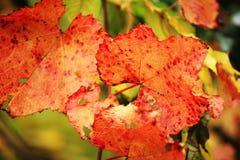 Red sheet grape Stock Image
