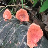Red Shelf Fungus in the bark of coconut tree stock image