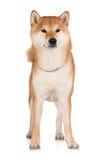 Red shiba inu dog Stock Photos
