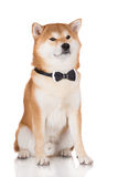 Red shiba inu dog Royalty Free Stock Photo