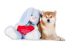 Red shiba inu dog Stock Image