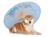 Red shiba inu dog Royalty Free Stock Photo
