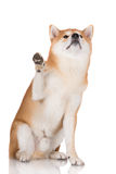 Red shiba inu dog gives paw Royalty Free Stock Images