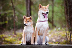 Red shiba inu dog and her puppy sitting together Royalty Free Stock Photos