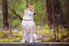 Red shiba inu dog sitting outdoors Stock Photography