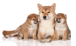 Red shiba inu dog with two puppies Royalty Free Stock Photo