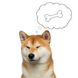 Red Shiba inu Dog on White Background. Portrait of Shiba inu Dog with closed eyes thinking, in cloud bone, on Isolated White Background, Front view Stock Photos