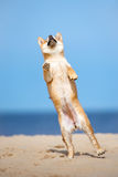 Red shiba inu puppy jumping on the beach Royalty Free Stock Photos