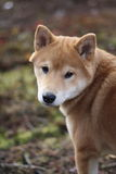 Red shiba inu puppy in Norway autumn colors Stock Photography