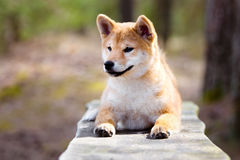 Red shiba-inu puppy portrait Royalty Free Stock Photo