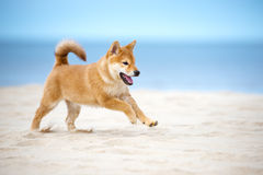 Red shiba inu puppy running on the beach Stock Photos