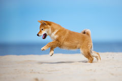 Red shiba inu puppy running on the beach. Red shiba inu breed puppy Royalty Free Stock Images