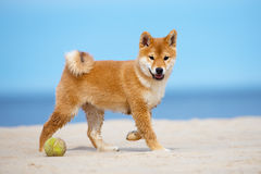 Red shiba-inu puppy walking on a beach Royalty Free Stock Photo