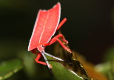 Red shield bug. On a leaf Stock Images