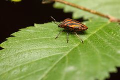Red shield bug Stock Photography