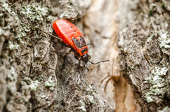 Red Shield Bug Or Stink Bug Insect Macro Royalty Free Stock Photos