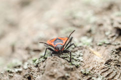 Red Shield Bug Or Stink Bug Insect Macro stock photo