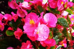 Red shimmery wax begonias shining in the garden stock photo