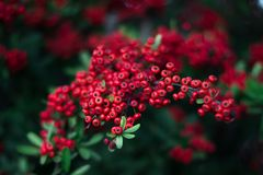 Mohave Pyracantha Firethorn - red berries green bush stock images
