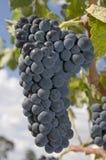 Red Shiraz Grapes. On a vine Stock Photos