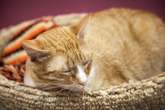 Red short-haired cat sleeps with comfort Royalty Free Stock Images