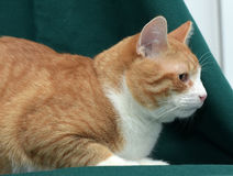 Red shorthair cat Royalty Free Stock Photography