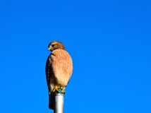 Red-Shoudered Hawk Stock Photography