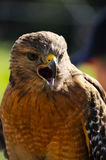 Red Shoulder Hawk Royalty Free Stock Photos