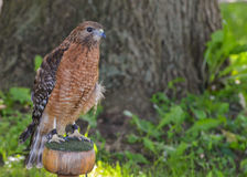 Red Shoulder Hawk looking at me Royalty Free Stock Image
